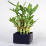 Dratsen Sander nebo Pokoj Bamboo - Strom štěstí