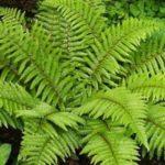 Exemples de plantes de fougère: signes et structure