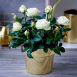 Cyclamen - en plante som vil glede deg med delikate blomster i en kald vinter: varianter, egenskaper av hjemmepleie