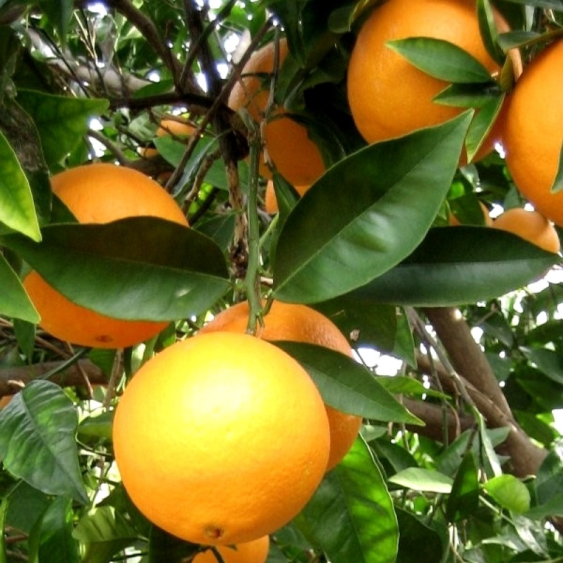 La naranja llega a México