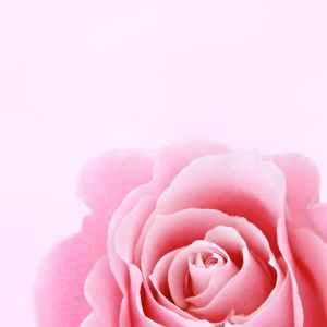 Fresh Cut Pink Roses