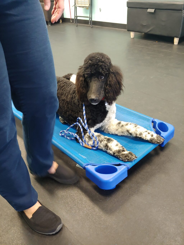 standard poodle training for mesa az