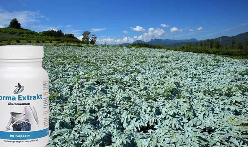 Feld mit Konjakpflanzen und Konjak Kapseln