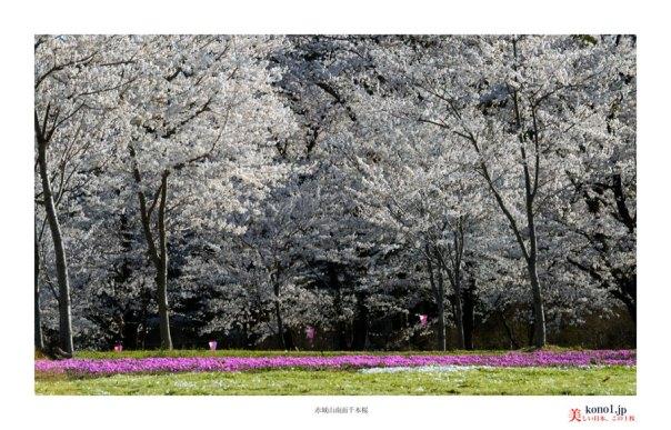 赤城山南面千本桜03