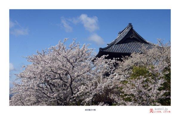 雨引観音の桜03