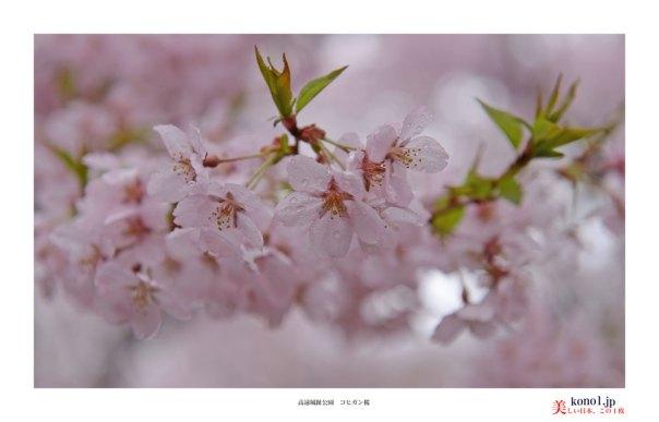 高遠城趾桜04