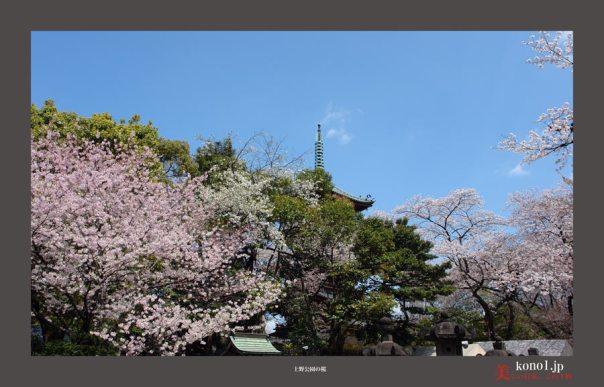 上野公園の桜09