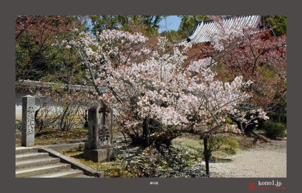 仁和寺御室桜02