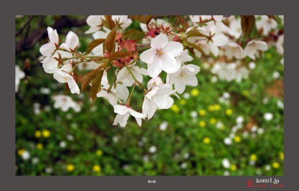 仁和寺御室桜03