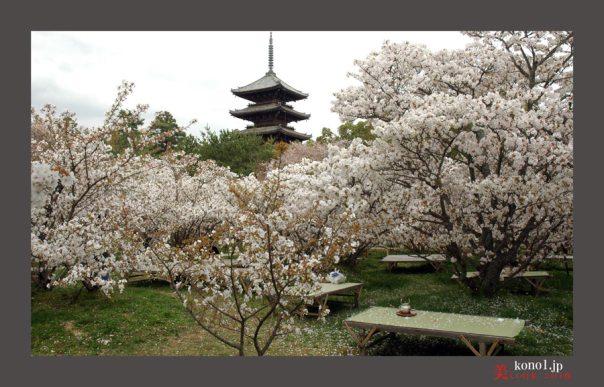 仁和寺御室桜04