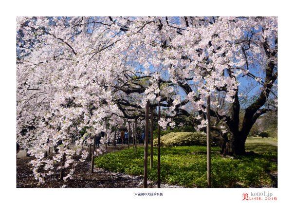 六義園桜11