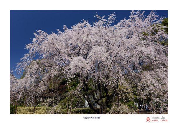 六義園桜12