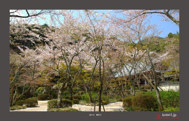 勝持寺の桜01