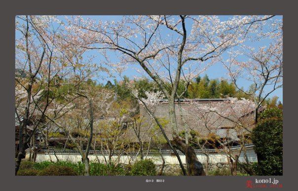 勝持寺の桜03