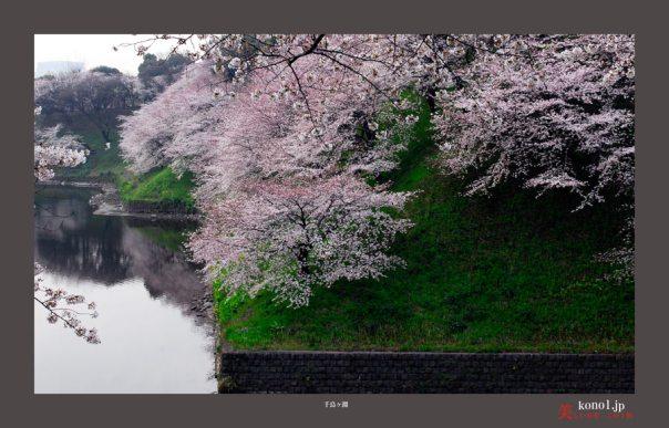 千鳥が淵桜01