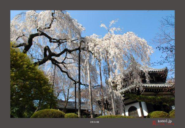 善峯寺の桜02