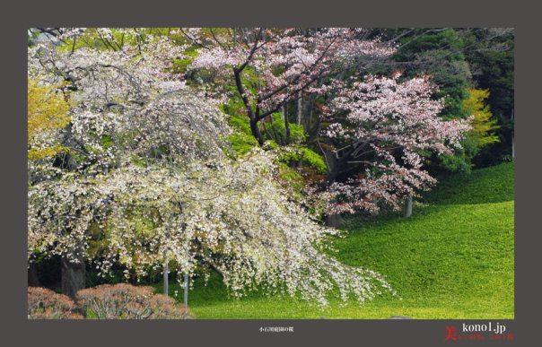 小石川庭園:桜01