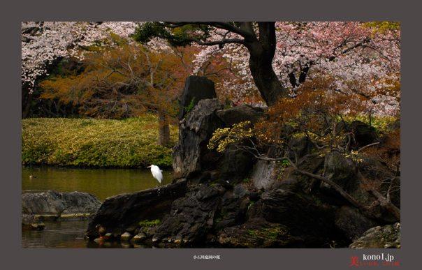 小石川庭園:桜05