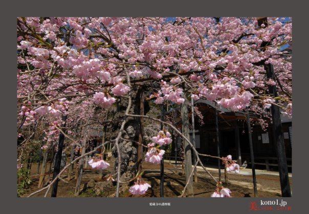 愛蔵寺護摩桜03