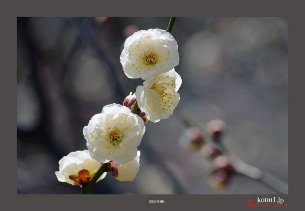 湯島天満宮の梅03