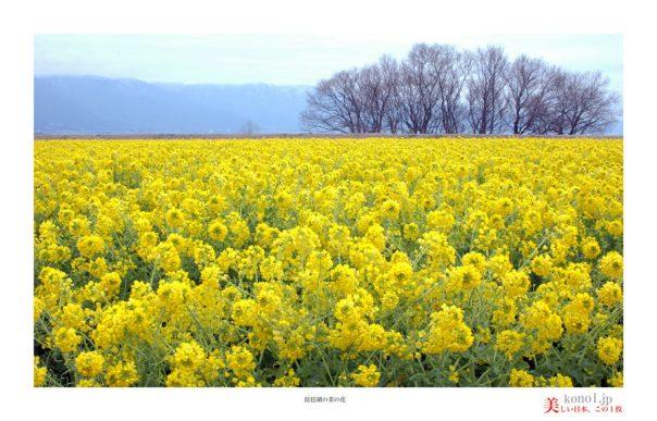琵琶湖菜の花03