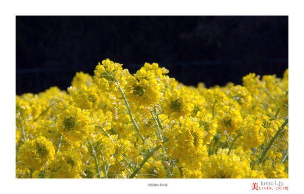 琵琶湖菜の花04