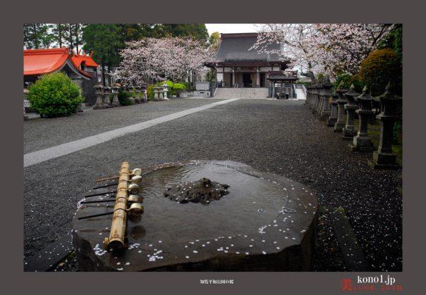 知覧平和公園の桜06