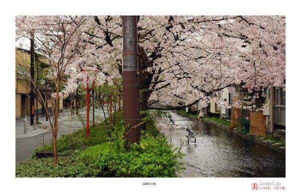 高瀬川桜03