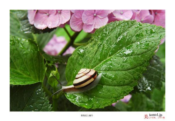 20140608紫陽花と蝸牛