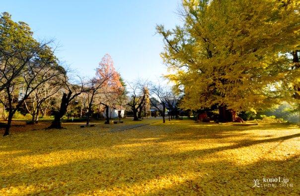 茨城県 霞ヶ浦 西蓮寺 大銀杏の木 紅葉 黄葉