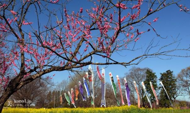 茨城県古河市 古河総合公園桃まつり こいのぼり 桃の花 菜の花