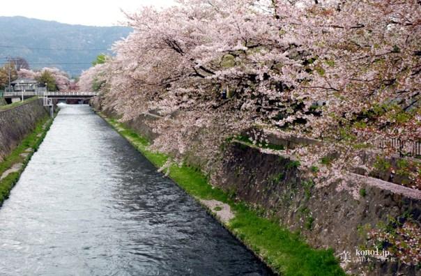 京都市 山科疎水 桜