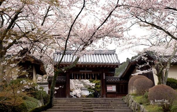 京都 毘沙門堂 大枝垂桜 そうだ京都行こう 2000年