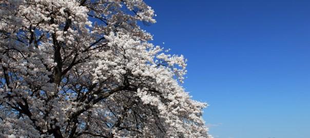 山梨県北杜市 眞原(さねはら)の桜並木 ソメイヨシノ