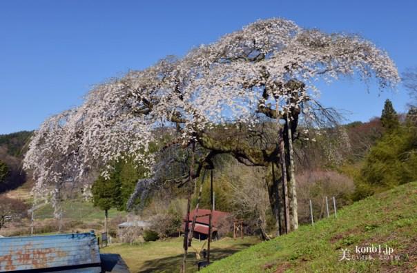 茨城県大子町 外大野のしだれ桜 水戸黄門お手植え 下大倉の桜 エドヒガン 糸桜