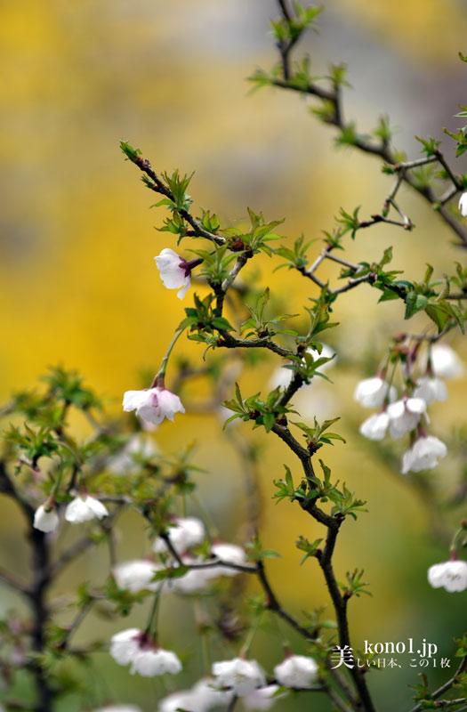 フジザクラ 湖上の舞 豆桜 満開 20