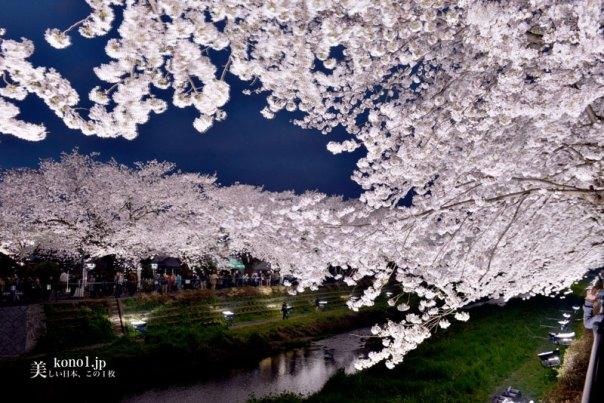 東京都調布市 野川の桜ライトアップ アークシステム 20