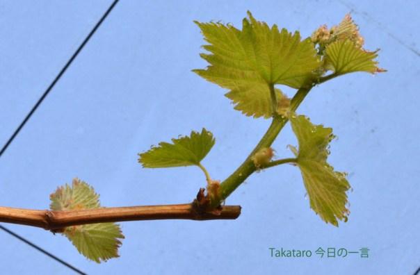 ぶどう 春 若葉  葉先の水玉 水滴 綺麗