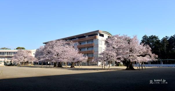 茨城県土浦市 真鍋小学校 校庭中央の桜並木