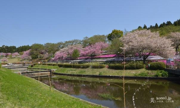 茨城県那珂市 静峰ふるさと公園の桜 ソメイヨシノ 八重桜2000本 八重桜まつり 日本さくら名所100選地