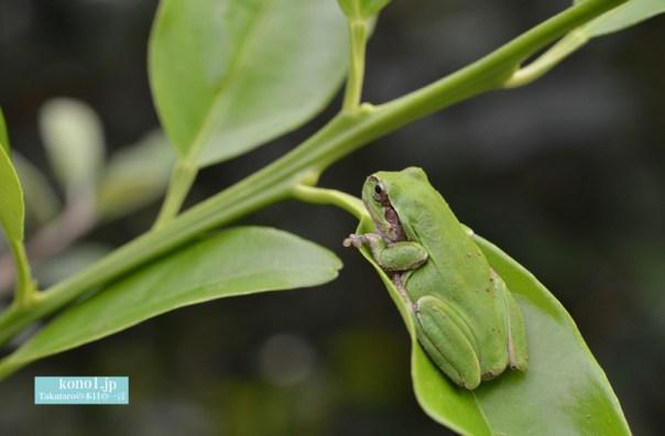 蛙 金柑の木 庭の主