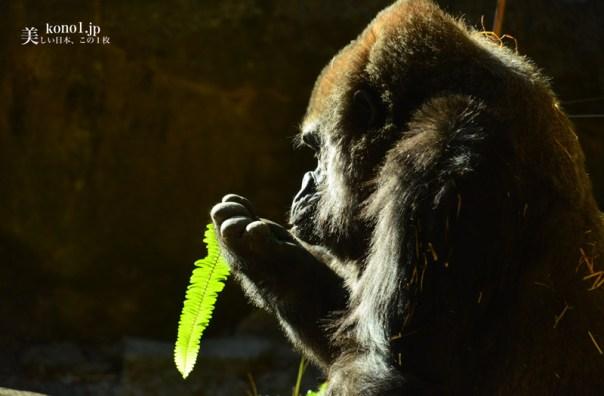 東京 上野動物園 ゴリラ 申年
