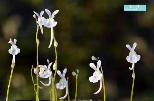 ウサギコケ 食虫植物 うさぎのような形 かわいい