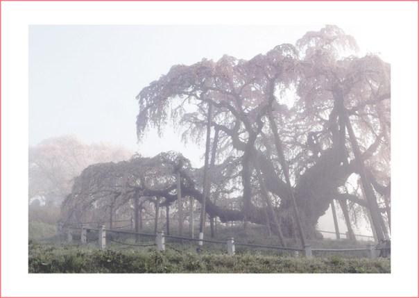 個展PR用_滝桜