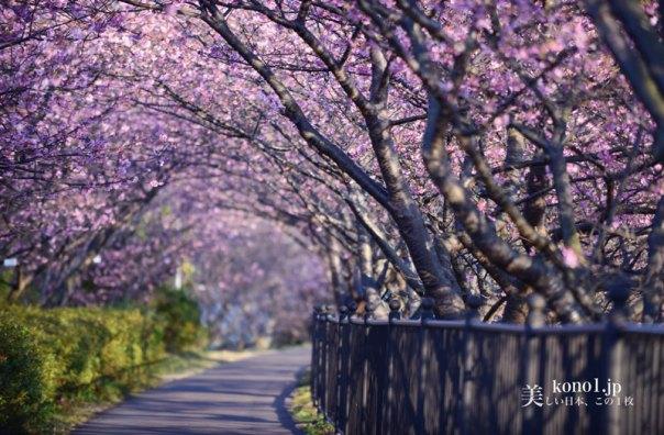 静岡県河津町 河津桜 河津桜原木 かじやの桜 河津城 城山