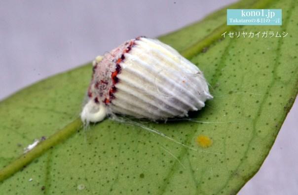 カイガラムシ 白い花芽のよう 駆除方法 みかんの木 イセリヤカイガラムシ