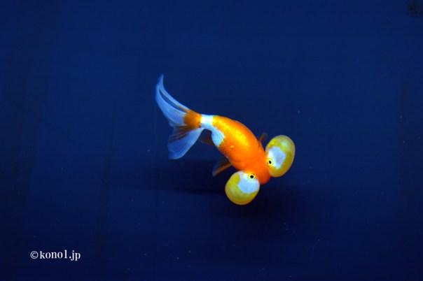 すみだ水族館 sumidaaquarium クラゲ 金魚 グソクムシ