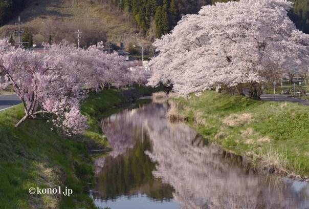 今出川 北須川 桜 福島県石川町 桜並木 あさひ公園