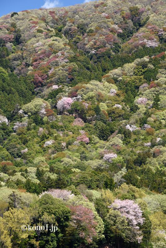 山桜 桜川 筑波 西の吉野、東の桜川 新緑 山桜絶景 場所 地図