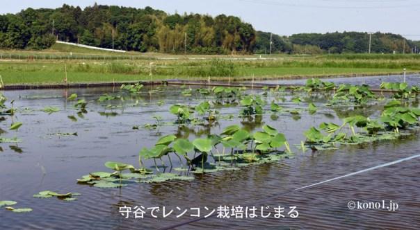 守谷市 食用レンコン栽培